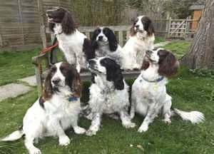 Just Springers Rescue Charity